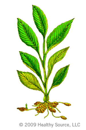 diagram of turmeric plant with leaves and roots